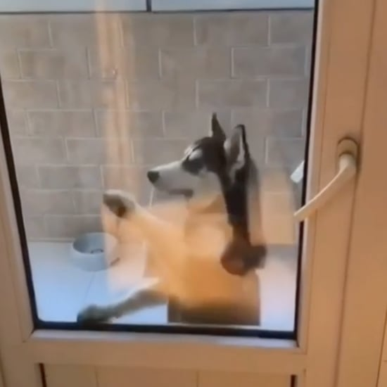 Video of Husky Puppy Waiting to Be Let Inside