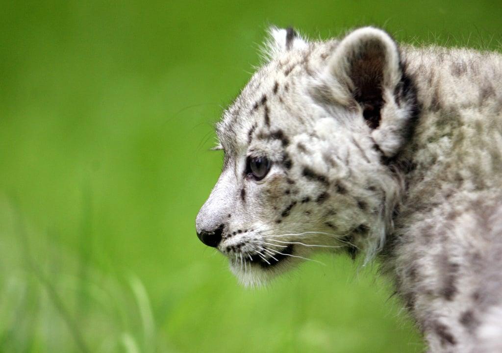 The Scoop: Meet Emba, a Baby Snow Leopard