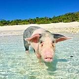 Swim With Pigs in Exuma
