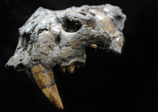 Saber Tooth Cat Fossils Discovered, Now on Display