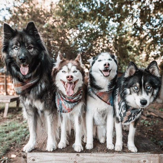4 Husky Dog Siblings Who Pose For Pictures Together