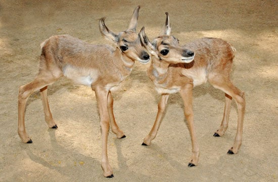Meet the First Peninsular Pronghorns Ever Born at a Zoo!