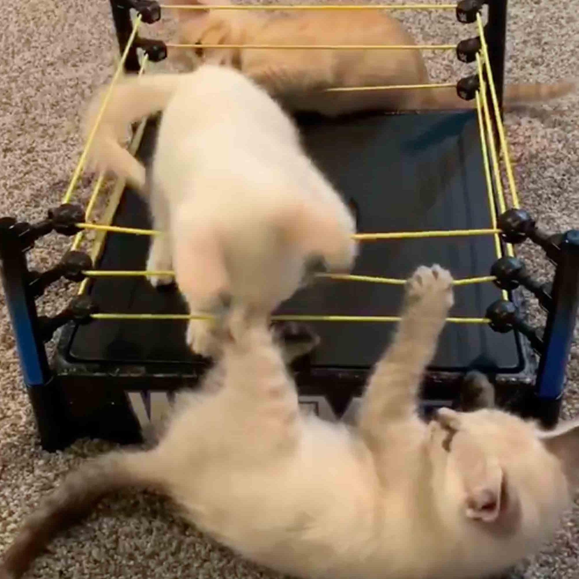 Video Of Kittens Playing Wrestlemania Popsugar Uk Pets