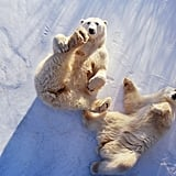 Polar Bears Exploring the Canadian Tundra Virtual Tour