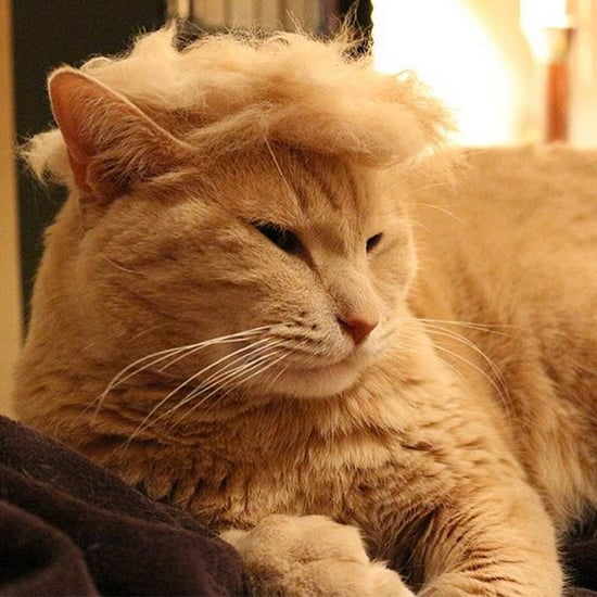 Cats With Donald Trump Hair