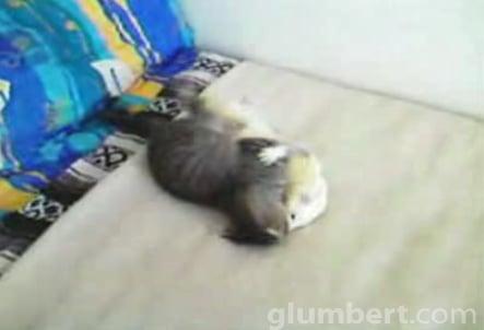 Kitten Vs. Ferret