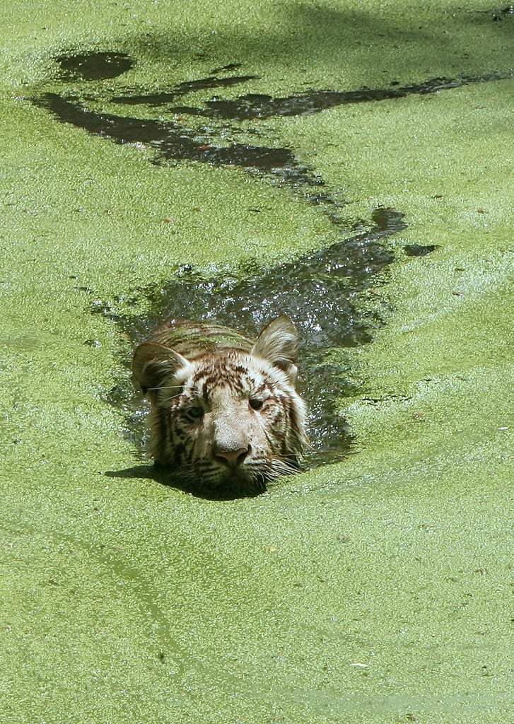 A white tiger doesn't mind the algae so long as it keeps him out of the heat in New Delhi.