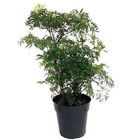 Ming Aralia Pre-Bonsai Tree