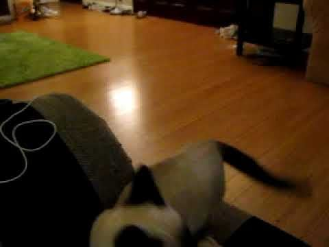 Video of Cat Playing Fetch