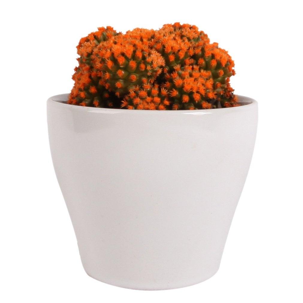 Flowering Orange Cacti