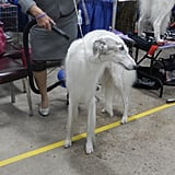 The level of grooming is so intense. Some people with long-haired dogs used more products in the dogs' hair than I use in my own. Some use flat irons for their dogs. I watched one person flat iron an entire long-haired Yorkshire Terrier from top to bottom. And I kid you not when I say that dog had prettier hair than I do.