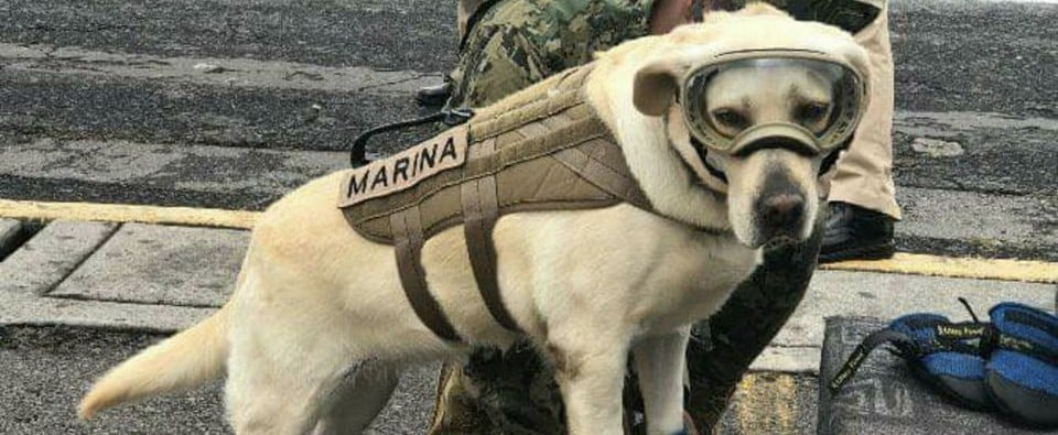 SEMAR Dog Frida Rescues Earthquake Survivors in Mexico