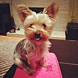 PopSugar pink looks good with Marketing Assistant Brittany Harmon's Yorkie, Theodore!