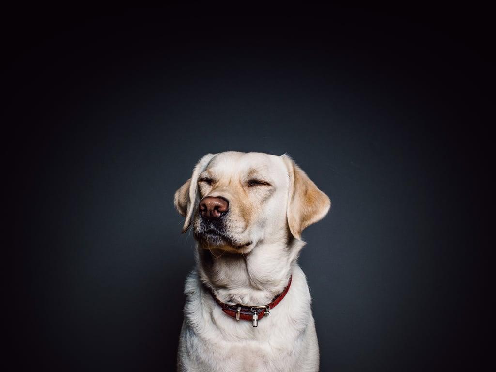 Aries (March 21-April 19) — Labrador Retriever