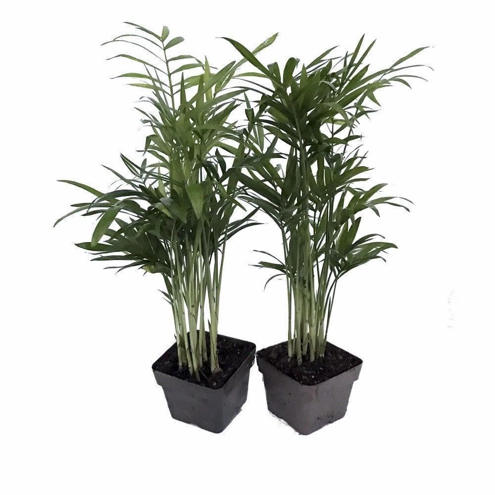 Victorian Parlor Palm Plants