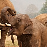 Elephants are the largest land-living mammal in the world. Blood is circulated through their ears to cool them down in hot climates.