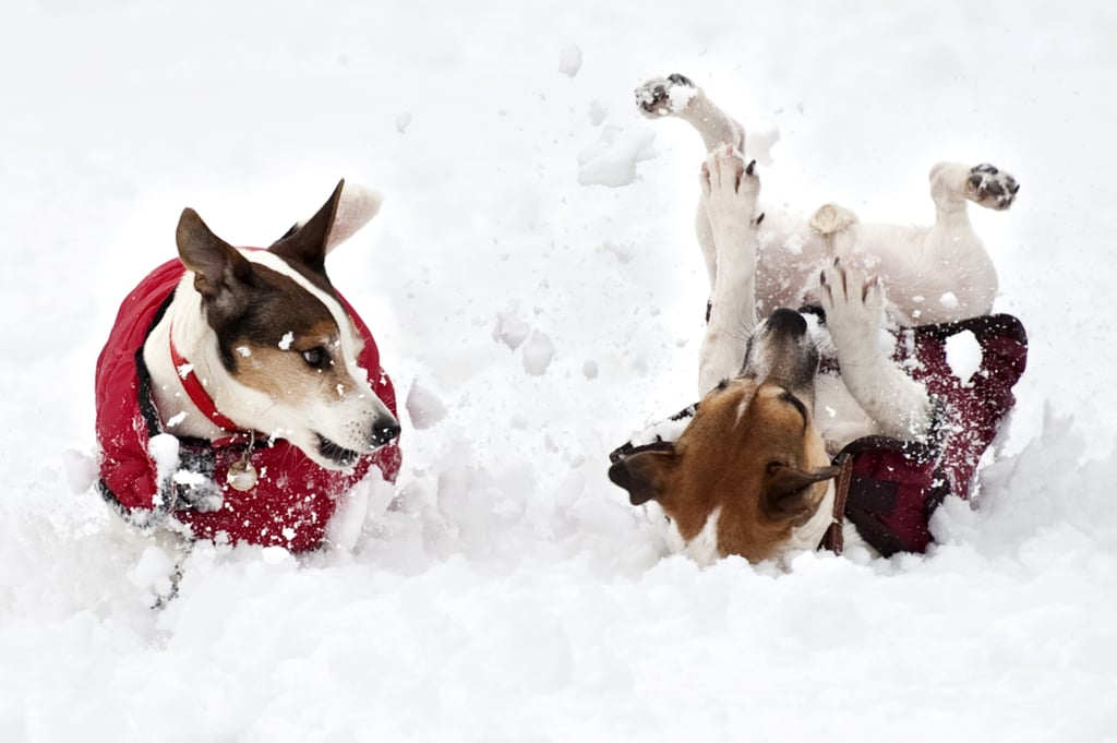 Two terriers gleefully tumbled in the snow in Norfolk.