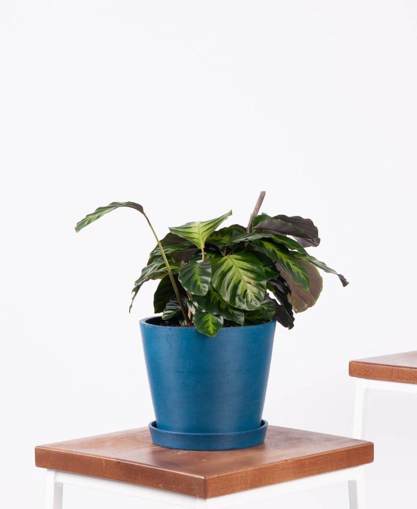Potted Calathea Misto Indoor Plant