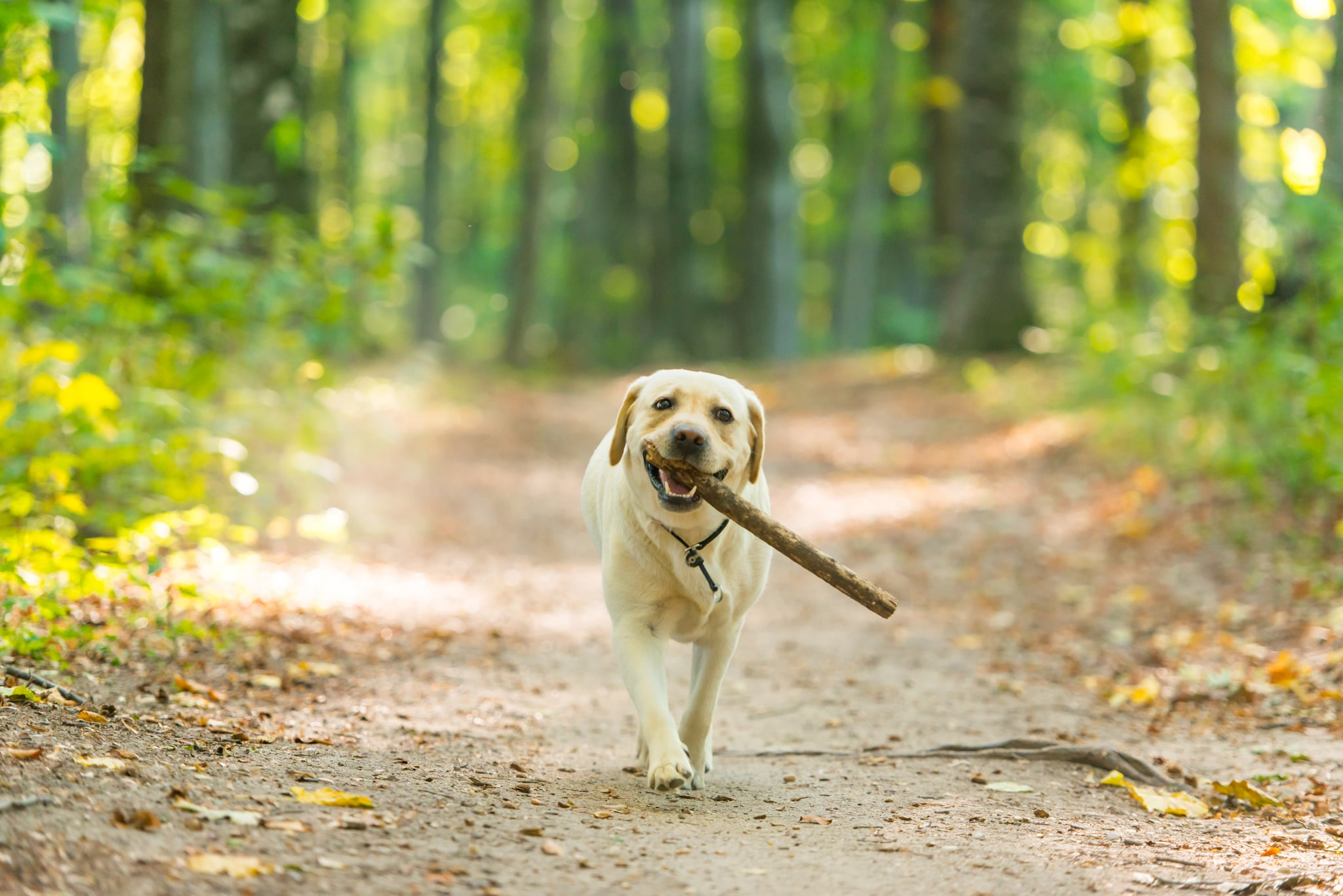 Closeup image of a yeallow labrador retriever dog carring a stick in forest near Cluj-Napoca, Transylvania, Romania
