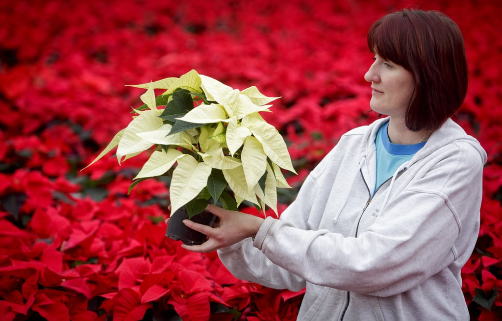 A gardener checked poinsettias in the Czech Republic.