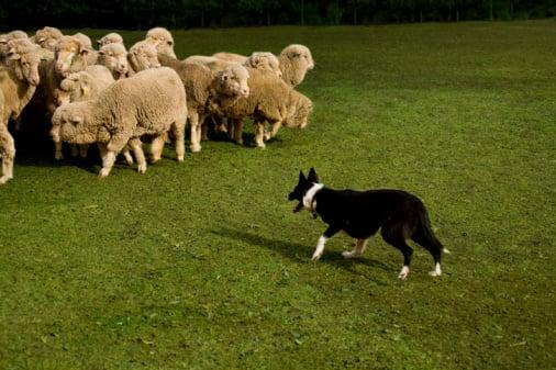 Herding Camps Find a Dog's Natural Job