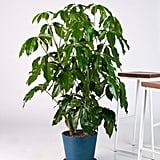 Potted Schefflera Amate Indoor Plant