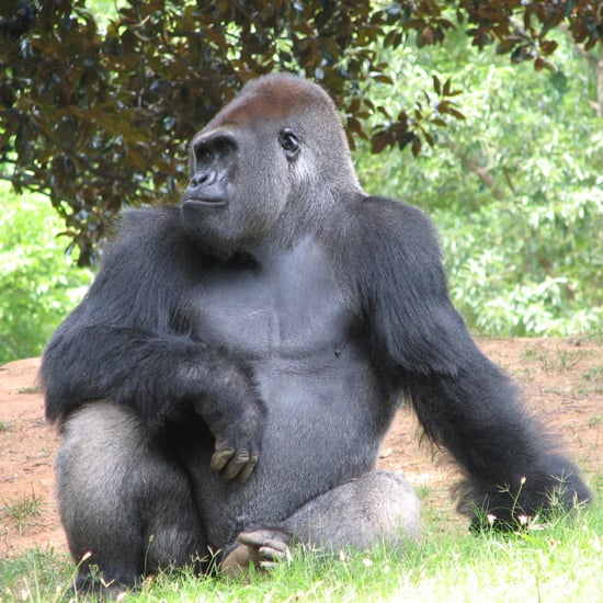 Gorilla Killed at Cincinnati Zoo