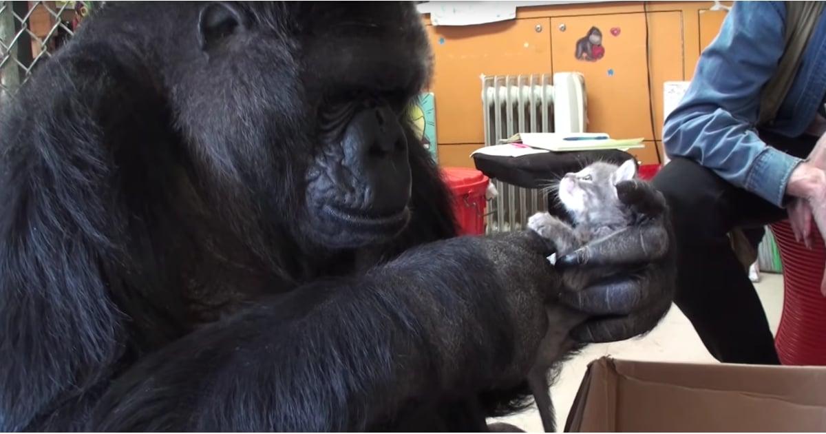 Gorilla Adopts Cat