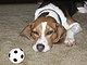 BeagleHappy
